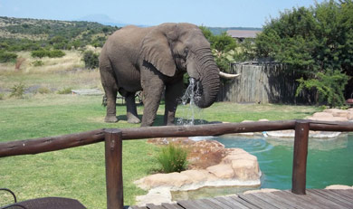 Elephant stopping by for a drink at Springbok Lodge