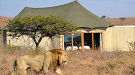 Lion with Ndaka Lodge in the background