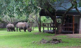 Rhinos visiting the camp