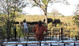Elephants visiting for lunch