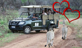 Lion sightings on a game drive at Pilanesberg Game Reserve with Ivory tree lodgee