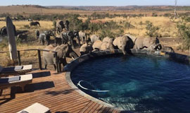 Elephants drinking from lodge pool