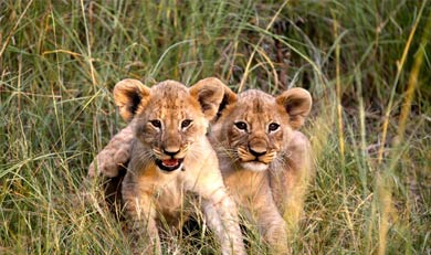 Lion Cubs at Mabula Game Lodge