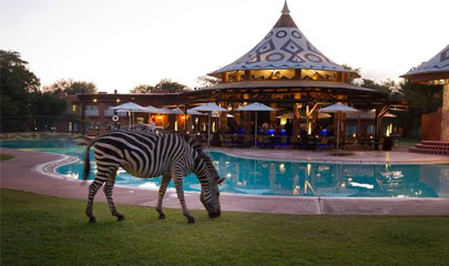Zebra drinking by the Pool at The Avani