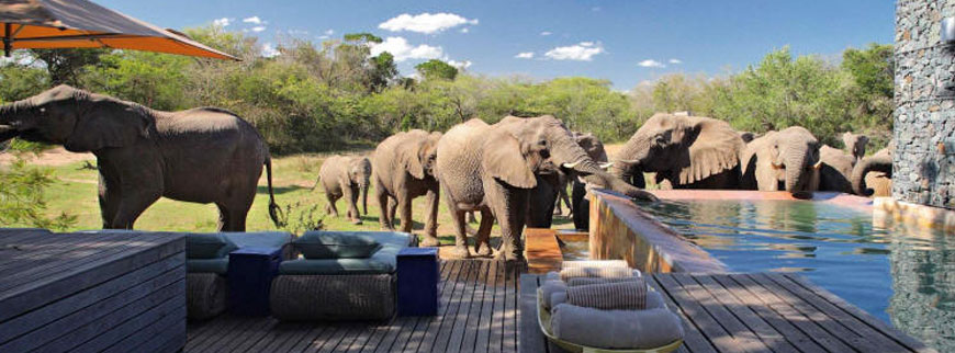 Elephants drinking at the pool at Phinda Homestead